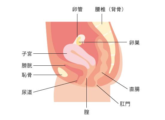 子宮のはたらき   子宮筋腫を知る   子宮筋腫note